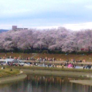 岡山 後楽園東側 旭川河川敷 桜0y.jpg