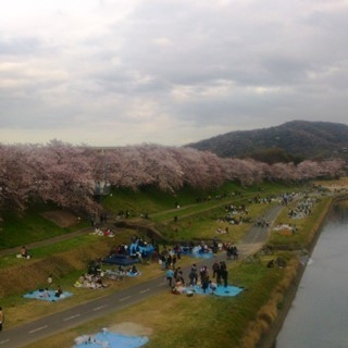 岡山 後楽園東側 旭川河川敷 桜0z.jpg