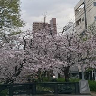 岡山 桜が満開 西川緑道公園0a.JPG