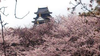 岡山城 と 桜 絶景DSC_1837.jpg