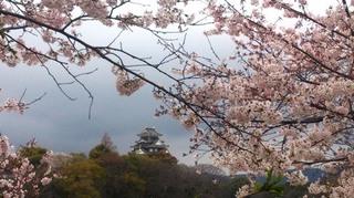 岡山城 と 桜 絶景DSC_1975.jpg