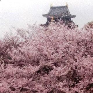 岡山城 と 桜 絶景 DSC_0364.JPG