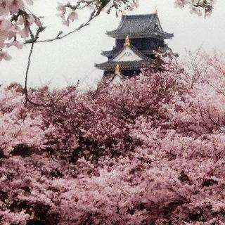 岡山城 と 桜 絶景 DSC_0379.JPG