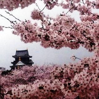 岡山城 と 桜 絶景 zzDSC_0490.JPG