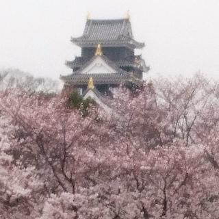 岡山城とさくら 桜.JPG